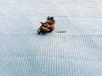Osa kontra pszczółka
