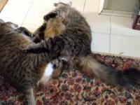 ekscytująca walka grubych kotów