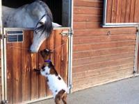 Mała koza na dwóch nogach próbuje walić konia