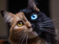 Venus, wyjątkowy kot chimera o dwóch twarzach