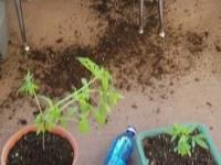 Koty zjadły marihuanen i poniósł je melanż
