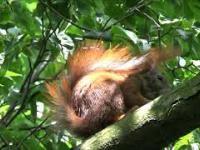 Głodna wiewiórka