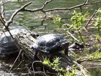 Żółwie na Uroczysku