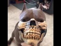 Pitbull w masce