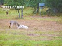 Jak baran z jeleniem sobie coś szybko wyjaśniali