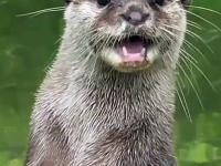 Kto by przypuszczał, że wydry wydają taki piękny dźwięk