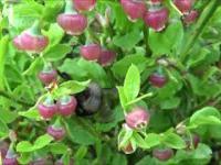 Trzmiel zapyla jagody