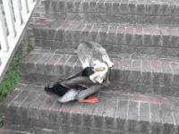 Ostra walka na śmierć i życie kaczki z kotem