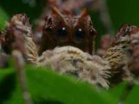 Portia labiata - prawdziwy geniusz wśród pająków