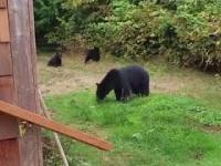Jak w Kanadzie przeganiają niedźwiedzi