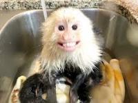 Małpka która uwielbia gorącą kąpiel