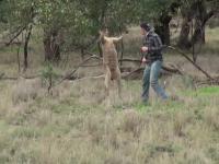 Oryginalne wideo faceta, który uderzył Kangura, by uratować swojego psa