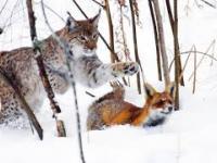 Lis poluje na nornice, a na lisa poluje ryś