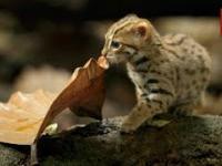 Jeden z najmniejszych kotów na świecie - narażony na wyginięcie kotek rdzawy