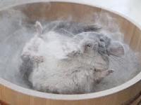 Jak najlepiej wykąpać szynszylę?