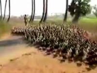 Kacza armia maszeruje