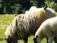 Przezabawny szpak skacze po owcach