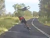 Kangur atakuje rowerzystkę