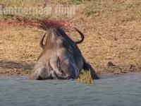 Dwa dzielne hipopotamy ratują gnu z paszczy krokodyla