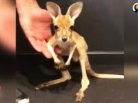 Pierwsze skoki małego kangura