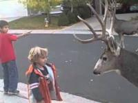 Oswojone jelenie