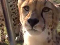 Miauczący Gepard