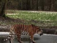 Odważny jak tygrys