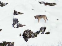 Pies ucieka trzem wilkom