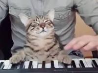 Kot pianista i meloman