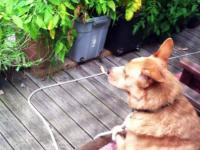 Pies Cecil słyszy wyjące z nagrania i odpowiada