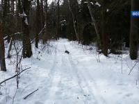 Chory na wściekliznę jenot atakuje narciarza.