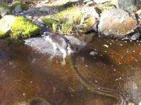 Kitku poluje na rybki która jest pod lodem