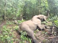 Słoń wybudza się, ledwo wstaje by nagle się ożywić...