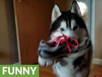 Husky wykłóca się o kradzież buta