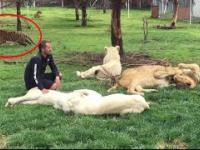 Tygrys ratuje swojego opiekuna przed atakiem leoparda