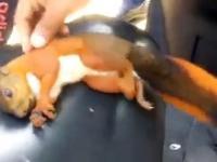 Resuscytacja porażonej prądem wiewiórki.