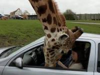 Żyrafa wkłada głowę do samochodu...