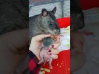 Szczur chwali się swoim potomstwem