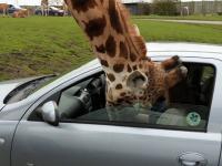 Głowa żyrafy zostaje uwięziona w oknie samochodu!