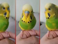Gadająca papuga Ferduś - Papużka falista nawija jak w radiu, kończąc Pokaż kotku co masz w środku
