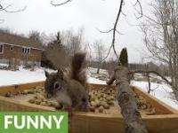 Gdy wiewiórka pospolita spotyka czarną w karmniku