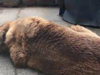 Ptak wyrywa futro ze śpiącego labradora