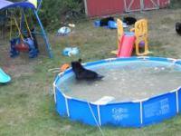 Niedźwiedzia rodzinka świetnie się bawi na amerykańskim podwórku