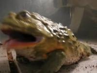 Gigantyczna żarłoczna ropucha zjada żywe myszy!