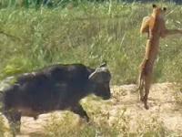 Bawół wyrzuca lwa w powietrze, aby uratować jaszczurkę