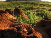 Gigantyczna kolonia mrówek