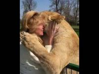 Kiedy po kilku latach spotykasz adoptowane kiedyś lwice