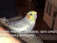 Co robi papużka, kiedy się zdenerwuje?