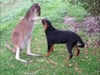 Pies kontra kangur