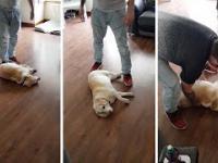 Pies udaje martwego aby nie iść na spacer